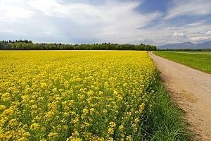 Countryside view of rapeseed field